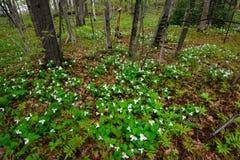 Белые Trilliums в лесе Стоковое Фото