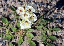 Белые Wildflowers пустыни Брайн-наблюдали claviformis Camissonia первоцвета вечера Стоковая Фотография