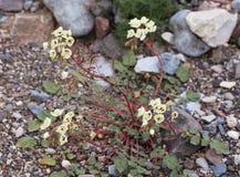 Белые Wildflowers пустыни Брайн-наблюдали claviformis Camissonia первоцвета вечера Стоковое фото RF