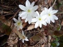 белые wildflowers Стоковая Фотография RF