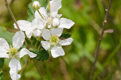 белые wildflowers Стоковые Изображения