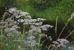Белые wildflowers anisum Pimpinella анисовки Стоковые Изображения RF