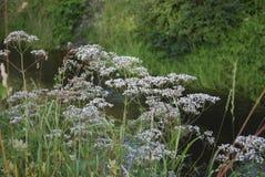 Белые wildflowers anisum Pimpinella анисовки Стоковое фото RF