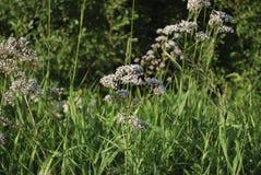 Белые wildflowers anisum Pimpinella анисовки Стоковая Фотография RF