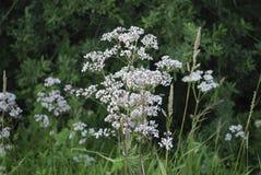 Белые wildflowers anisum Pimpinella анисовки Стоковое Изображение RF