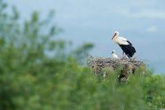 Белый аист, аист аиста, в гнезде с 2 детенышами Stor с красивым ландшафтом Вложенность bir, среда обитания природы Сцена f живой  Стоковые Изображения RF