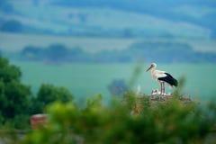 Белый аист, аист аиста, в гнезде с 2 детенышами Stor с красивым ландшафтом Вложенность bir, среда обитания природы Сцена f живой  Стоковое Изображение