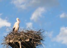 Белый аист (аист аиста) в гнезде Стоковое фото RF