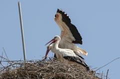 Белый аист, аист аиста, на гнезде Стоковые Фото