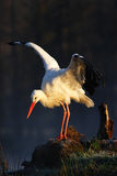 Белый аист, аист аиста, на озере весной Аист с открытым крылом Белый аист в среду обитания природы Сцена живой природы от Стоковые Изображения
