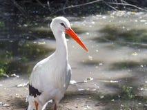 Белый аист (аист аиста) Стоковые Фото