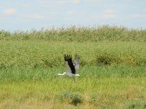Белый аист в полете Стоковые Фото