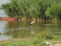 Белый аист в реке Стоковое Фото
