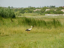 Белый аист в траве Стоковые Изображения