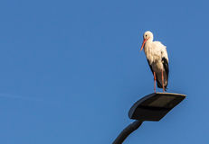 Белый аист греясь в солнечности Стоковое Фото