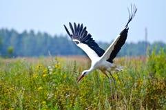 Белый аист летает над землей Стоковые Фотографии RF