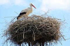 Белый аист или аист аиста в гнезде Стоковое фото RF