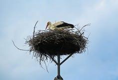 Белый аист на гнезде Стоковые Изображения