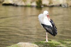 Белый аист на озере (аист аиста) Стоковые Фото