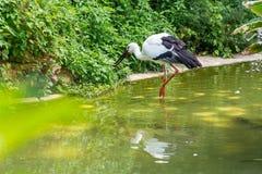 Белый аист охотясь рыба на своем рте в озере Стоковое Изображение