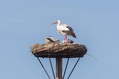 Белый аист сидя на гнезде стоковое фото