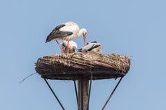 Белый аист сидя на гнезде стоковая фотография rf