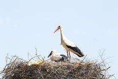 Белый аист с ее младенцем весной Стоковое Изображение RF