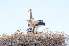 Белый аист с молодыми аистами младенца на гнезде Стоковые Фотографии RF