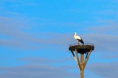 Белый аист Стоковая Фотография RF