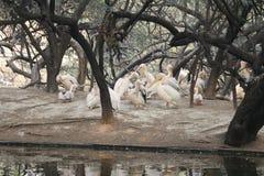 Белый аист стоковое фото rf