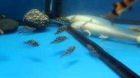 Белый аксолотль (mexicanum Ambystoma) и аквариум f акции видеоматериалы