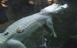 Белый аллигатор Стоковое Изображение