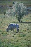 Белый бизон, белые облака, священный буйвол, национальный музей буйвола, Джемстаун, SD Стоковые Фотографии RF