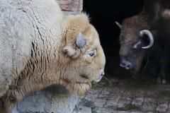 Белый бизон черноты вахты буйвола Стоковая Фотография RF