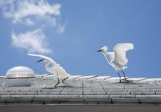 Белый бой egrets снега на крыше Стоковые Изображения RF