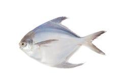 Белый брама на белом backbround Стоковые Фотографии RF