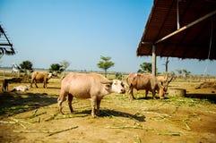 Белый буйвол стоковая фотография rf