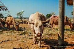 Белый буйвол стоковое фото rf