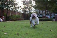 Белый бульдог, который побежали на траве Стоковое Изображение