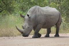 Белый гулять быка носорога стоковые фото