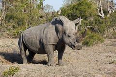 Белый бык носорога Стоковое Фото