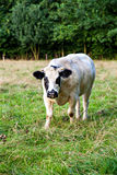 Белый бык с слепым пятном на голове Стоковые Фото
