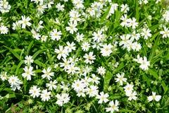 Белый близкий взгляд wildflowers, яркий ый-зелен луг, красивый ландшафт весны Стоковое Изображение RF