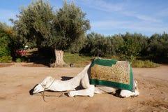 Белый верблюд спать в Marrakech, Марокко Стоковые Изображения