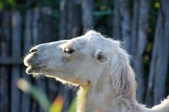 Белый верблюд стоковая фотография rf