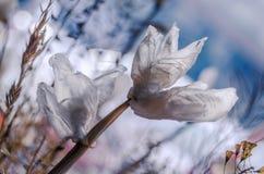 Белый вечный цветок Стоковая Фотография