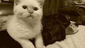 Белый великобританский котенок shorthair кладя на собаку Стоковые Фото