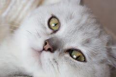 белый великобританский кот shorthair в руках женщины в купальном халате Стоковая Фотография