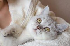 белый великобританский кот shorthair в руках женщины в купальном халате Стоковая Фотография RF