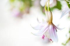 Белый взгляд макроса цветков колокола кольца Стоковое Изображение RF
